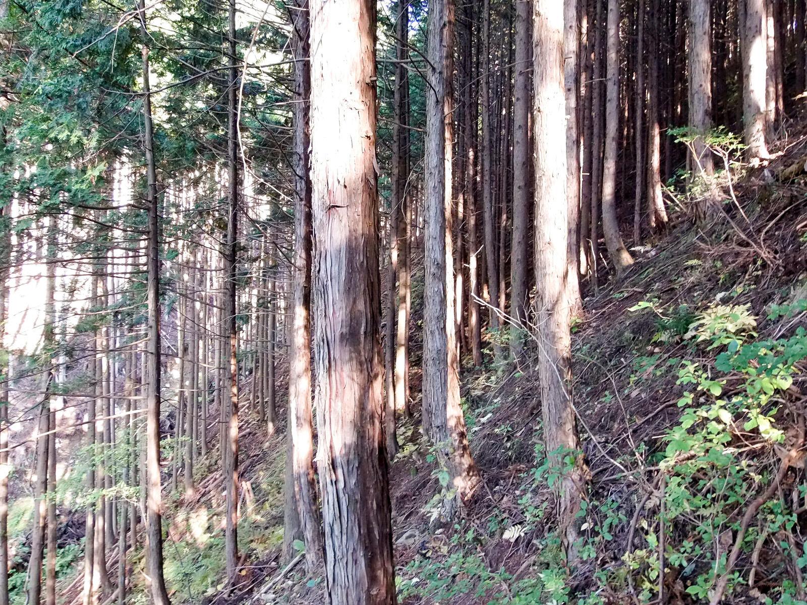 間伐が行われる前の森の状態(樹間が狭い)